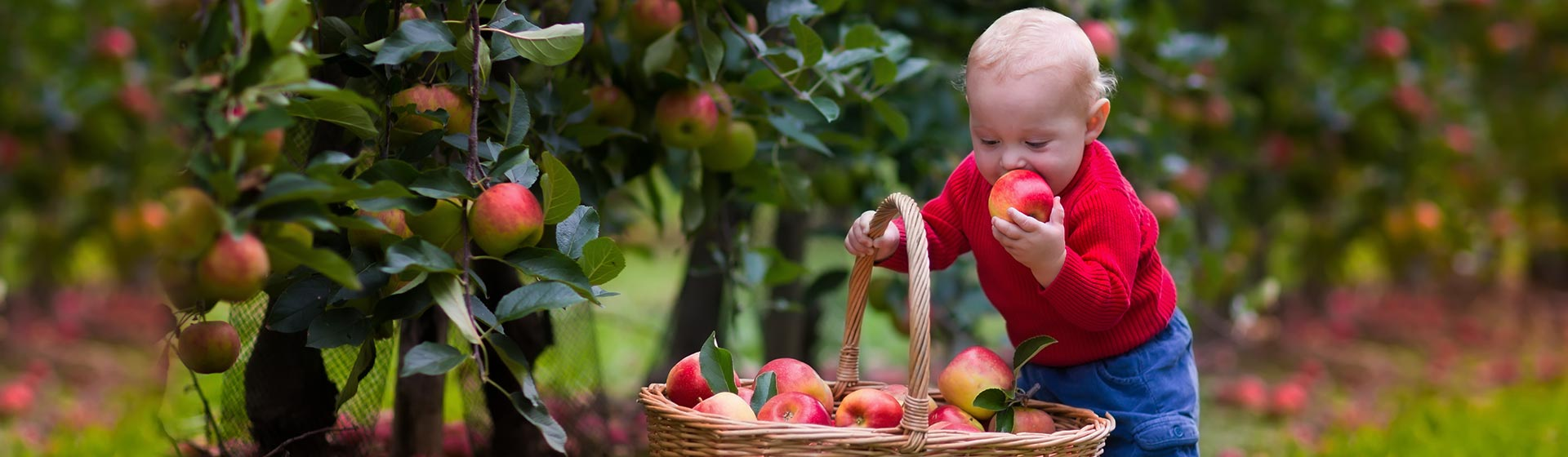 Baby boy picking apples.